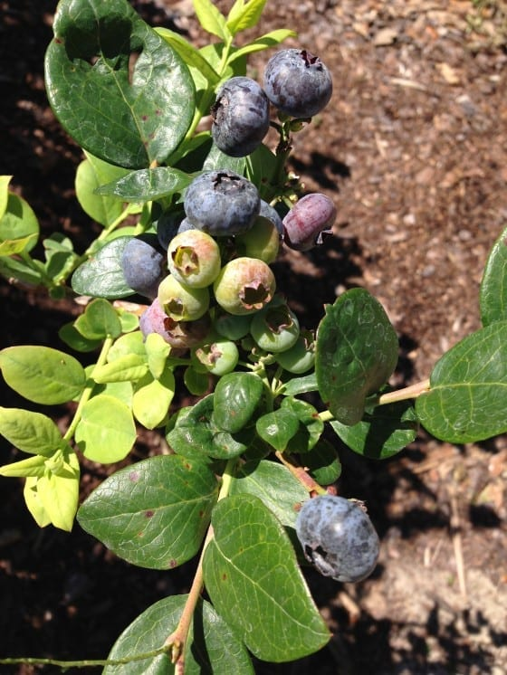 Lake-Catherine-Blueberries-u-pick-farm-branch-my-sweet-zepol