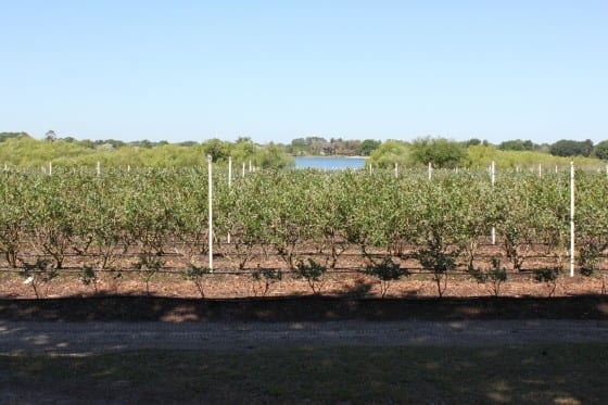 Lake-Catherine-Blueberries-u-pick-farm-my-sweet-zepol