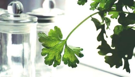 cilantro herb to plant indoors
