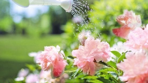 watering roses in a raised garden bed. Pink flowers