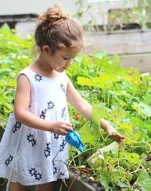 little girl wattering a raised garden bed with a blue watering can