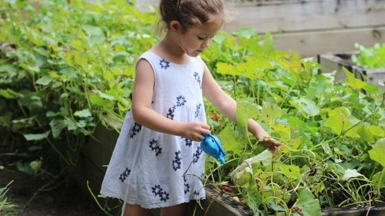 little girl wattering a raised garden bed with a blue wateringcan