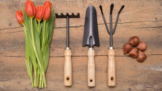 weeding tools for gardening, tulip flowers and tulip bulbs on a wooden table or counter