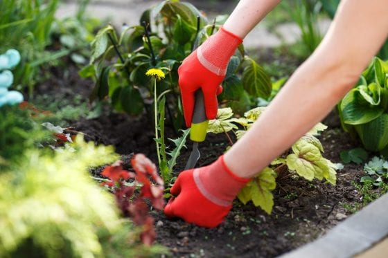 weeding tool, weeding the garden, weeds, garden with green leaves and herbs, hands with red gardening gloves
