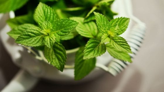 fresh min in a pot, grow fresh herbs indoors