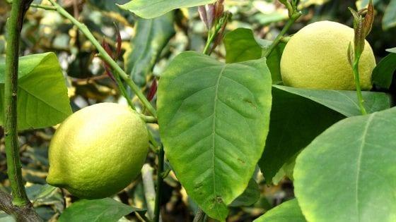 lemon tree in a garden